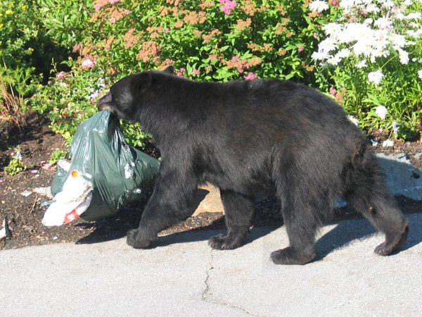 Bear takes out the trash