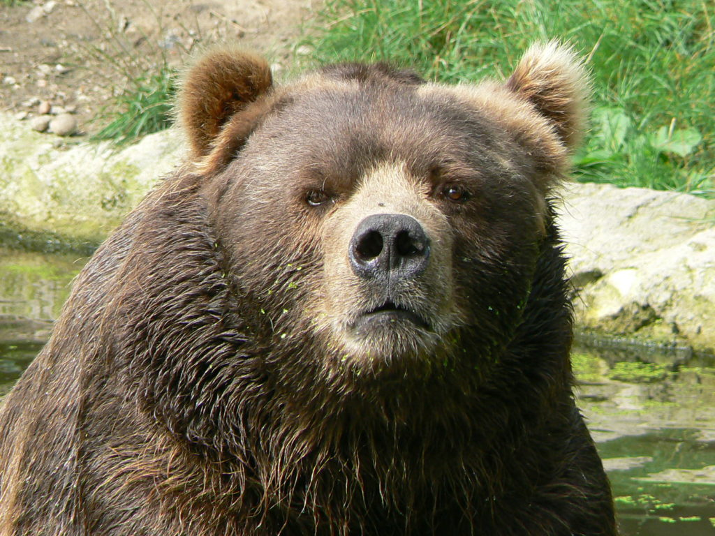 Serious Bear is not amused