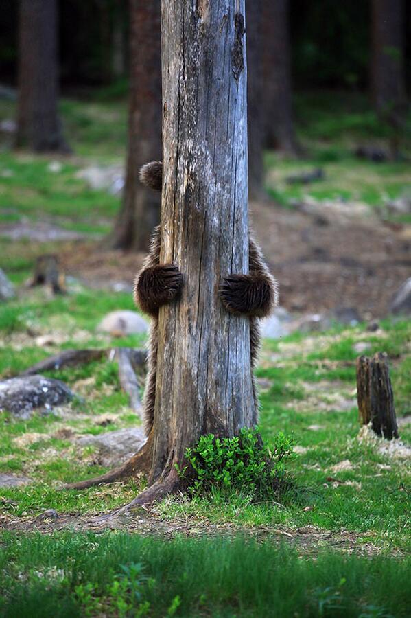 Bear plays hide and seek