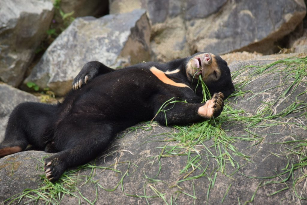 Bear has food coma