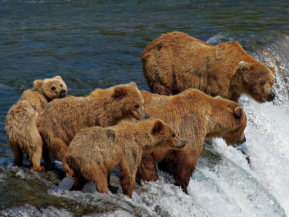 Bears go to the all-you-can-eat seafood buffet