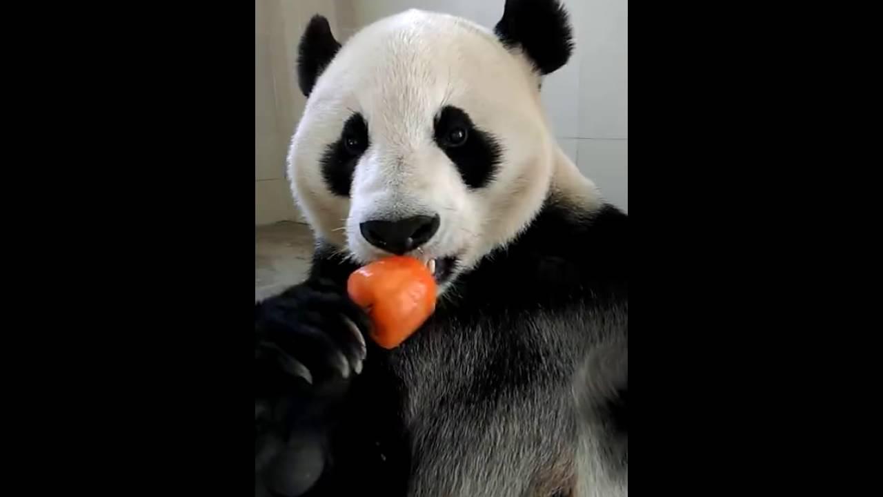 Bear enjoys a popsicle